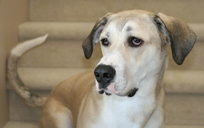 Great Pyredane Hybrid Dog -  Great Dane / Great Pyrenees