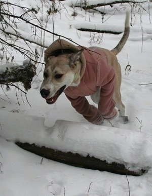 A tan and white Great Pyredane puppy is wearing a pink jacket jumping over a fallen log in snow.