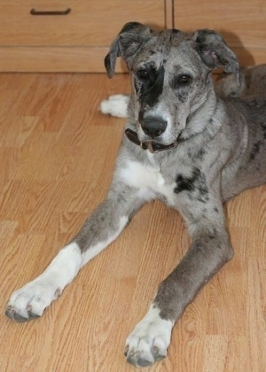 A grey with white and black merle color Great Pyredane puppy is laying on a hardwood floor in front of a dresser.