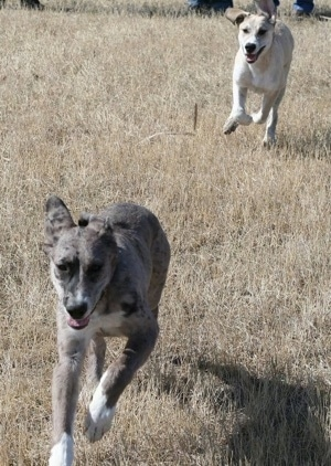 A tan and white Great Pyredane puppy is chasing a grey with white and black merle color Great Pyredane puppy through brown tall brown grass.