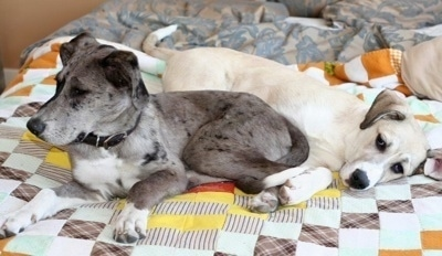 Two puppies, a grey with white, black merle color and a tan and white Great Pyredane are laying on a human's bed on top of a quilt.