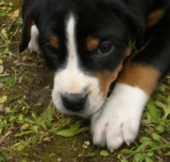 Close Up - A black, tan and white Greater Swiss Mountain puppy is laying outside on the ground.