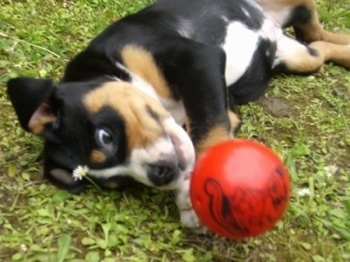 Close Up - A black, tan and white Greater Swiss Mountain puppy is laying on its side outside with a red ball in front of it