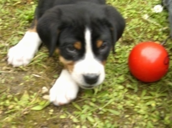 Close Up - A black, tan and white Greater Swiss Mountain dog puppy is laying outside in the yard with a red ball next to it