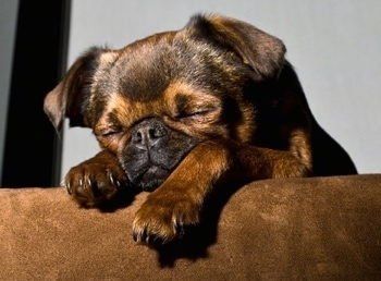 A sleeping short-haired brown, tan and black Belgian Griffon is on a couch with its front paws hanging over the edge.