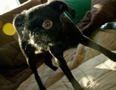 Close Up - A black Belgian Griffon is standing on a human's bed.
