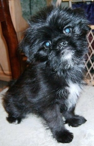 A black with white medium haired Griffonese puppy is sitting on a tan dog bed with its head tilted to the left. There is a baby gate behind it.
