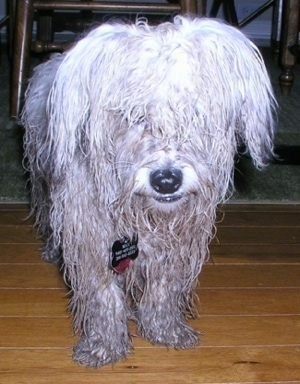 A long-haired white wet and muddy Havachon is standing on a hardwood floor