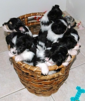 A litter of black and white Havallon puppies inside of a wicker basket