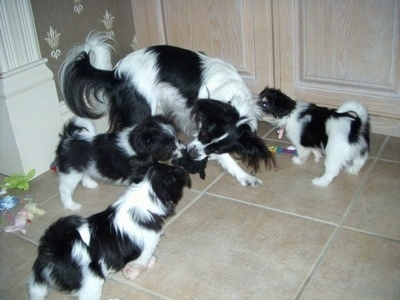 Three Havallon puppies surrounding an adult Papillon. The Papillon has a plush toy in its mouth. One of the puppies is biting the other end of the plush toy.