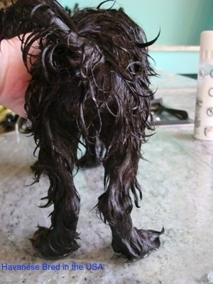The back of a wet black dog that is standing on a glass surface and a person has their hand on the front of the dog. The dogs back legs are bent.