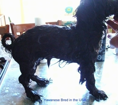 Right Profile - A wet black dog that is standing on a glass surface. The dog has a high arch and its back paws turn outward and its fron legs bend inward.
