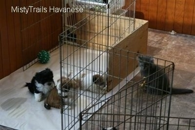 Kallie the gray kitten is sitting in front of a dog whelping pen looking at the litter of Havanese pups who are inside the pen