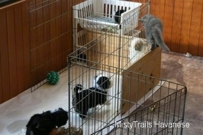 Kallie the gray kitten is walking across a wood board that is part of the wall in the puppy's whelping pen