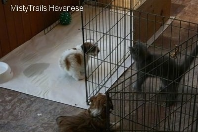 Kallie the small gray kitten is looking directly at one of the Havanese pups who is inside the whelping pen