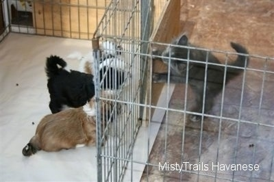 Kallie the Kitten is jumped up at and looking over a wood board at three of the Havanese pups