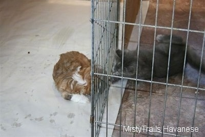Kallie the Kitten and a Havanese pup touching one another through the pen