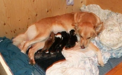 A tan Himalayan Sheepdog mix is laying on a blanket in a whelp box nursing five puppies.
