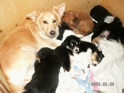 A tan Himalayan Sheepdog is laying in a whelping box with her litter of puppies.