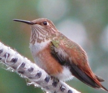 Hummingbird standing on a fuzzy tree branch