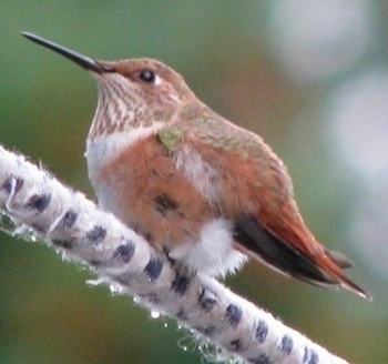 Hummingbird standing on a fuzzy tree branch looking straight ahead