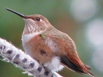 Hummingbird looking directly in front of it