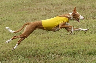 Action shot - A brown with white Ibizan Hound is wearing a yellow shirt in the middle of a run across a field.