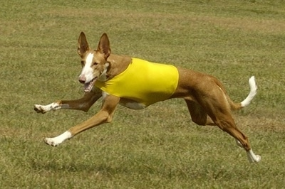 Action shot - A brown with white Ibizan Hound dog is wearing a yellow shirt running across a field.