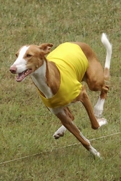 Action shot - A brown with white Ibizan Hound dog is wearing a yellow shirt is running across grass with its mouth open.