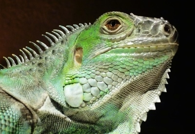 Close up head shot - The side of a green Iguana that is looking up and to the right.