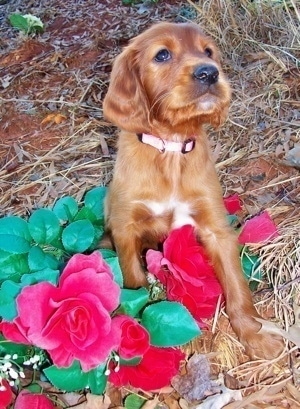 Ala, the Irish Setter Puppy at 6 weeks old