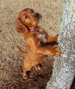 A red with white Irish Setter puppy is jumped up with its paws on a tree and looking up
