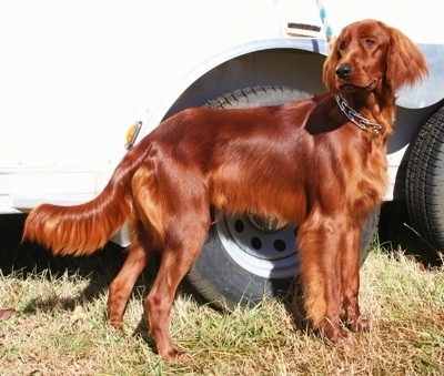 A red Irish Setter is standing on grass in front of a white trailer.