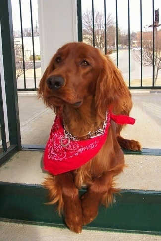 A red Irish Setter is wearing a red bandana and a prong collar laying on a step with a black iron fence behind it.