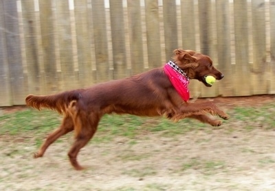 Bama, the Irish Setter at 10 months old having fun wiht a tennis ball