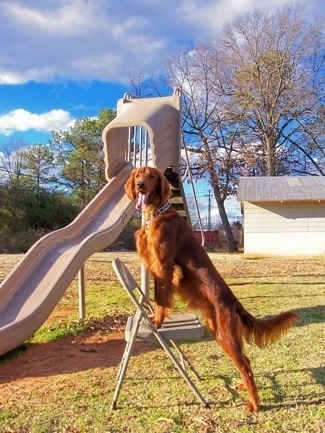 A red Irish Setter is wearing a prong collar with its front paws up on a medal folding chair with a large plastic sliding board and a tool shed behind it