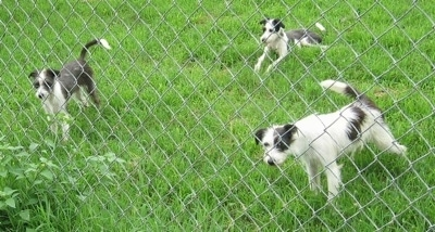 Three gray and white dogs are behind a chain link fence looking through it. Two are standing and one is laying down.