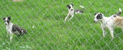 Three gray and white dogs are behind a chain link fence looking through it. One is sitting, one is laying and the third is standing.