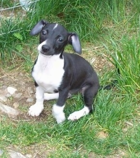 A black and white Italian Greyhuahua is sitting in grass and looking up