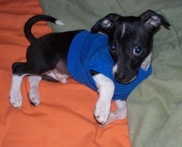 A small black with white Italian Greyhuahua puppy is wearing a royal blue shirt laying on a bed that has an orange blanket and a green blanket on it.