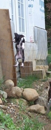 A black and white Italian Greyhuahua is activly climbing over the top of a wire fence with a house under construction behind it.