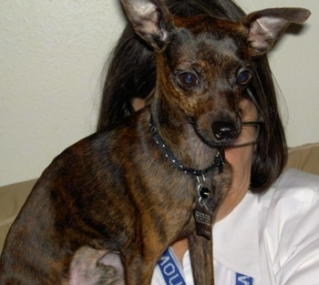 A brown and black brindle Italian Greyhuahua is sitting on the shoulder of a lady who is wearing a white shirt.