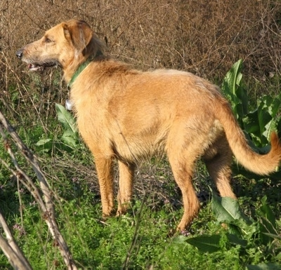 The back left side of a tan Segugio Italiano dog standing in grass looking to the left. Its mouth is slightly open. It has a long tail that is curled upwards at the tip.