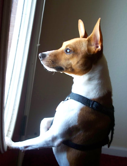 A white with tan Jack-Rat Terrier is jumped up against a window sill and looking out