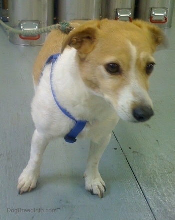 A white with tan Jack Russell Terrier wearing a blue harness with a leash connected to it with silver medal tubes in the background