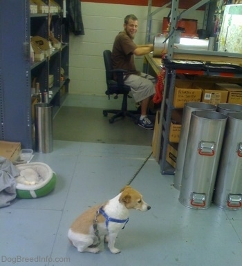 A white with tan Jack Russell Terrier tied to his owners work bench as his owner works behind him at an industrial building