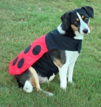 A white with black and tan Jack-A-Bee is sitting in grass wearing a ladybug costume