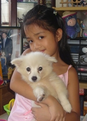 A tan Japanese Spitz puppy is being held up and hugged by a girl in a pink shirt. There is a shelf behind her with an Eeyore plush toy wearing a hat and a radio and a picture of the girls family behind her.