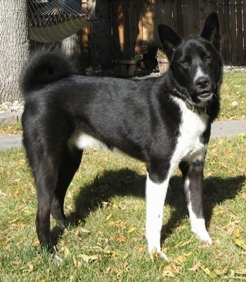 A black with white Karelian Bear Dog is standing outside in grass. There is a couple of trees with a hammock behind it.