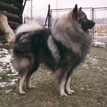 A Keeshond is standing in grass with a log house behind it and a chain link fence adjacent to it